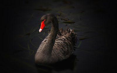 La agilidad ante los cisnes negros